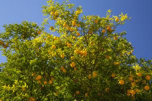 ユズの果実の写真素材 [FYI04762608]