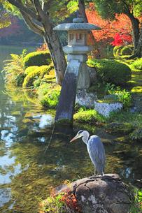 秋の金沢兼六園 ことじ灯籠と霞ヶ池に鷺の写真素材 [FYI04762645]