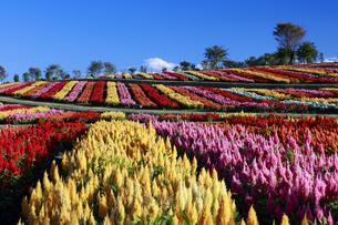 ケイトウ咲く那須フラワーワールドの写真素材 [FYI04762942]
