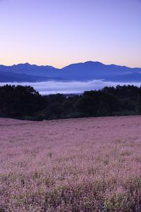 夜明けの赤そばの里の写真素材 [FYI04762944]