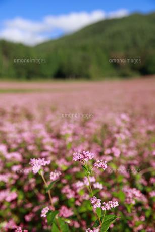 赤そばの花の写真素材 [FYI04762951]