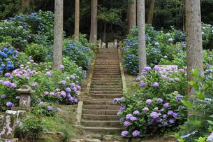 千光寺のアジサイの写真素材 [FYI04763018]