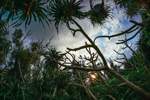 宮古島のジャングルの写真素材 [FYI04763071]