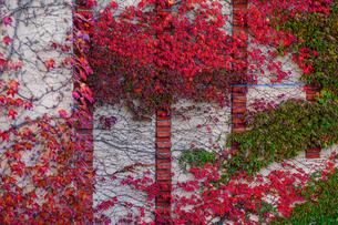 蔦の紅葉の写真素材 [FYI04763086]