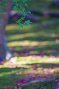 青紅葉の庭の写真素材 [FYI04763100]