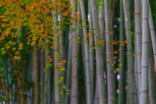 竹林と紅葉の写真素材 [FYI04763108]