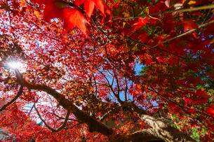 青空と紅葉の樹の写真素材 [FYI04763110]