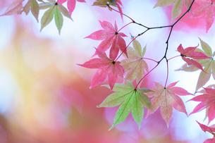 パステルカラーの紅葉の写真素材 [FYI04763115]