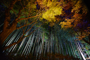 竹林と紅葉のライトアップの写真素材 [FYI04763119]