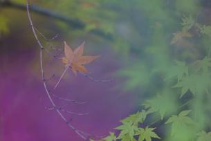 青紅葉、散り紅葉の共演の写真素材 [FYI04763123]