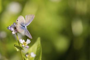 ミゾソバの蜜を吸うシジミチョウの写真素材 [FYI04763141]