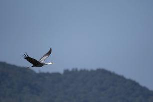 森をバックに飛ぶナベヅルの写真素材 [FYI04763151]