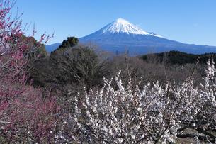 梅の花と富士山の写真素材 [FYI04763327]