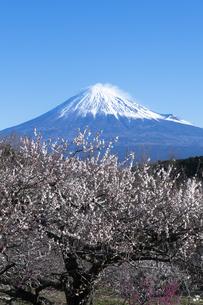 梅の花と富士山の写真素材 [FYI04763330]