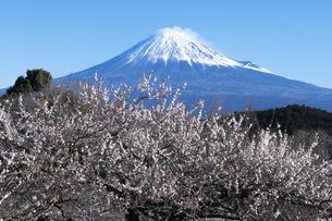 梅の花と富士山の写真素材 [FYI04763331]