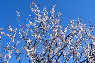 梅の花の写真素材 [FYI04763344]