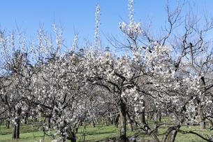 梅の花の写真素材 [FYI04763346]
