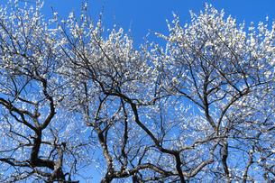 梅の花の写真素材 [FYI04763348]