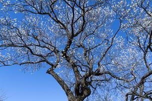 梅の花の写真素材 [FYI04763349]
