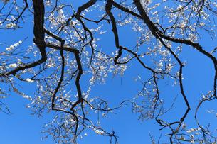 梅の花の写真素材 [FYI04763352]
