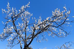 梅の花の写真素材 [FYI04763366]