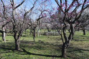 梅の花の写真素材 [FYI04763372]
