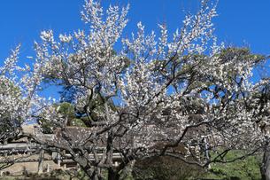 梅の花の写真素材 [FYI04763379]