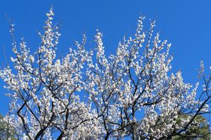 梅の花の写真素材 [FYI04763385]