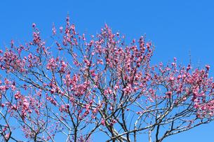 梅の花の写真素材 [FYI04763388]