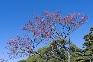 梅の花の写真素材 [FYI04763391]