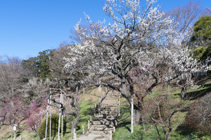 梅の花の写真素材 [FYI04763394]