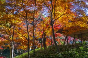 六義園の紅葉の写真素材 [FYI04763607]