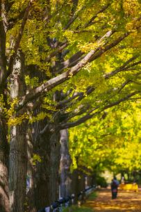 昭和記念公園の銀杏並木の写真素材 [FYI04763622]