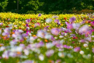 昭和記念公園のコスモス畑の写真素材 [FYI04763627]