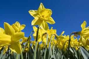 スイセンの花の写真素材 [FYI04763772]