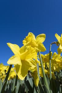 スイセンの花の写真素材 [FYI04763773]