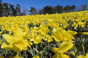 スイセンの花の写真素材 [FYI04763776]