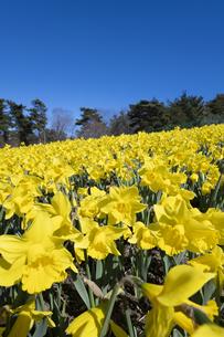 スイセンの花の写真素材 [FYI04763777]