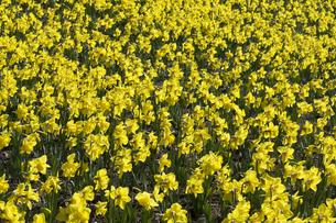 スイセンの花の写真素材 [FYI04763779]