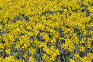 スイセンの花の写真素材 [FYI04763780]