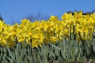スイセンの花の写真素材 [FYI04763781]