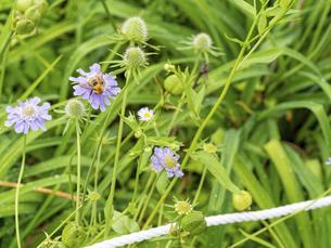 高嶺松虫草と蜜蜂の写真素材 [FYI04763802]