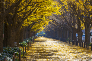 明治神宮外苑の銀杏並木の紅葉の写真素材 [FYI04763909]