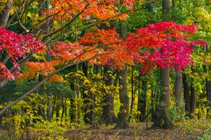 平和の森公園の紅葉の写真素材 [FYI04763925]