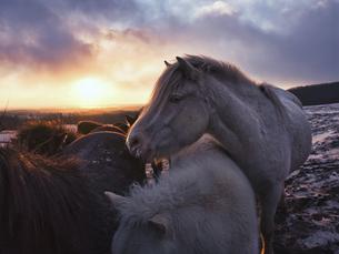 朝日と馬の写真素材 [FYI04764041]