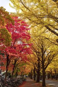 北海道 札幌市イチョウ並木の紅葉の写真素材 [FYI04764107]