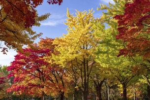 北海道 札幌市イチョウ並木の紅葉の写真素材 [FYI04764118]