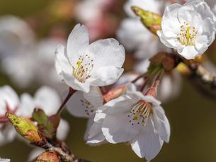 クローズアップの桜の花の写真素材 [FYI04764120]