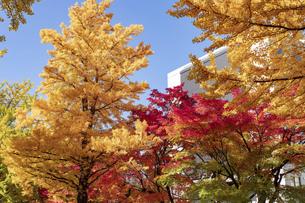 北海道 札幌市イチョウ並木の紅葉の写真素材 [FYI04764209]