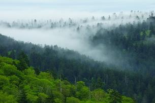 知駒岳 霧のアカエゾマツ群生林の写真素材 [FYI04764713]